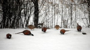 Pheasantwebjpg